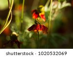 A Red Mexican Hat Flower Is Lit ...