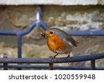 a european robin  alternative... | Shutterstock . vector #1020559948