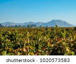 concha y toro vineyard  pirque  ... | Shutterstock . vector #1020573583