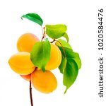 ripe apricots on branch with... | Shutterstock . vector #1020584476