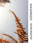 Frosty Winter Fern At Sunrise