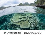 healthy corals thrive in the... | Shutterstock . vector #1020701710