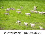 a scenic view of a sheep farm...   Shutterstock . vector #1020703390