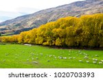 a scenic view of a sheep farm... | Shutterstock . vector #1020703393