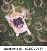Stock photo cute chihuahua pug mix puppy playing outside in fresh green grass with soap bubbles toned with a 1020710989