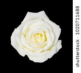 Stock photo white rose isolated on black background 1020711688