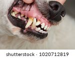 dog teeth with cavities close... | Shutterstock . vector #1020712819
