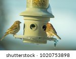 House Finch   Female Red Winge...