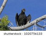 a black vulture  coragyps... | Shutterstock . vector #1020756133