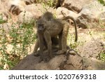 closeup of olive baboons ... | Shutterstock . vector #1020769318
