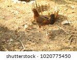 hens in a rural area | Shutterstock . vector #1020775450