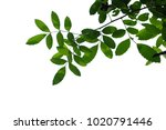 tree branch isolated | Shutterstock . vector #1020791446