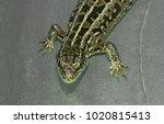 lizard macro photo | Shutterstock . vector #1020815413