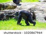 Single Cute Chimpanzee Monkey...