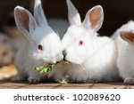 Stock photo two baby white rabbits eating a leaf together 102089620