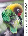 Small photo of Black-cheeked Lovebird, Agapornis nigrigencis, yellow green parrot, sitting on the branch and cleaning his feathers