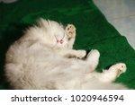 cat portrait scene.   Shutterstock . vector #1020946594
