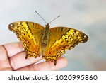 cruiser butterfly the large...   Shutterstock . vector #1020995860