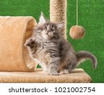 Stock photo maine coon kitten on the scratching stone over green grass background 1021002754