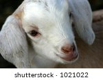 Small photo of Camella's Kid 2 . Baby goat