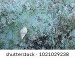 fossil shell on the sedimentary ... | Shutterstock . vector #1021029238