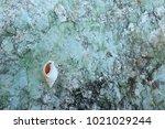 fossil shell on the sedimentary ... | Shutterstock . vector #1021029244