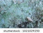 fossil shell on the sedimentary ... | Shutterstock . vector #1021029250