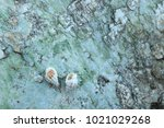 fossil shell on the sedimentary ... | Shutterstock . vector #1021029268