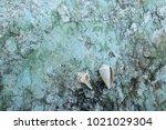 fossil shell on the sedimentary ... | Shutterstock . vector #1021029304
