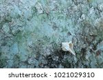 fossil shell on the sedimentary ... | Shutterstock . vector #1021029310