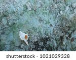 fossil shell on the sedimentary ... | Shutterstock . vector #1021029328