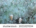fossil shell on the sedimentary ... | Shutterstock . vector #1021029334