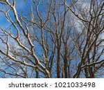 branches of oak covered by...   Shutterstock . vector #1021033498