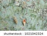 fossil shell on the sedimentary ... | Shutterstock . vector #1021042324