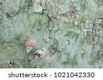 fossil shell on the sedimentary ... | Shutterstock . vector #1021042330