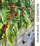 Small photo of Leaf tomato deficiency nutrient