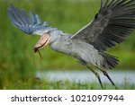 the majestic bird of the... | Shutterstock . vector #1021097944