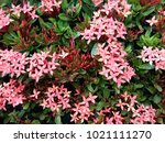 red ixora flowers and green...   Shutterstock . vector #1021111270