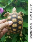 baby tortoise on the hands of... | Shutterstock . vector #1021113844