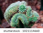 cactus plants in the botanical... | Shutterstock . vector #1021114660