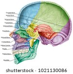 cranial cavity. the bones of... | Shutterstock . vector #1021130086