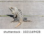 black spiny tailed iguana ... | Shutterstock . vector #1021169428
