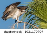 Osprey In Florida