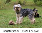 terrier  playing dogs | Shutterstock . vector #1021173460