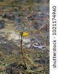 carnivorous aquatic plant...   Shutterstock . vector #1021174960