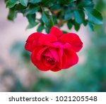up side down red rose   Shutterstock . vector #1021205548