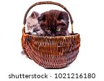 Stock photo two cute kittens are playing in the wicker basket scottish straight and scottish fold kitten 1021216180