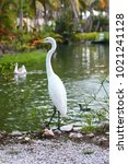 great egret white large egret... | Shutterstock . vector #1021241128