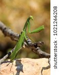 Small photo of Mantis, Mantodea, Insecta