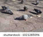 hundreds of pigeons looking for ... | Shutterstock . vector #1021285096